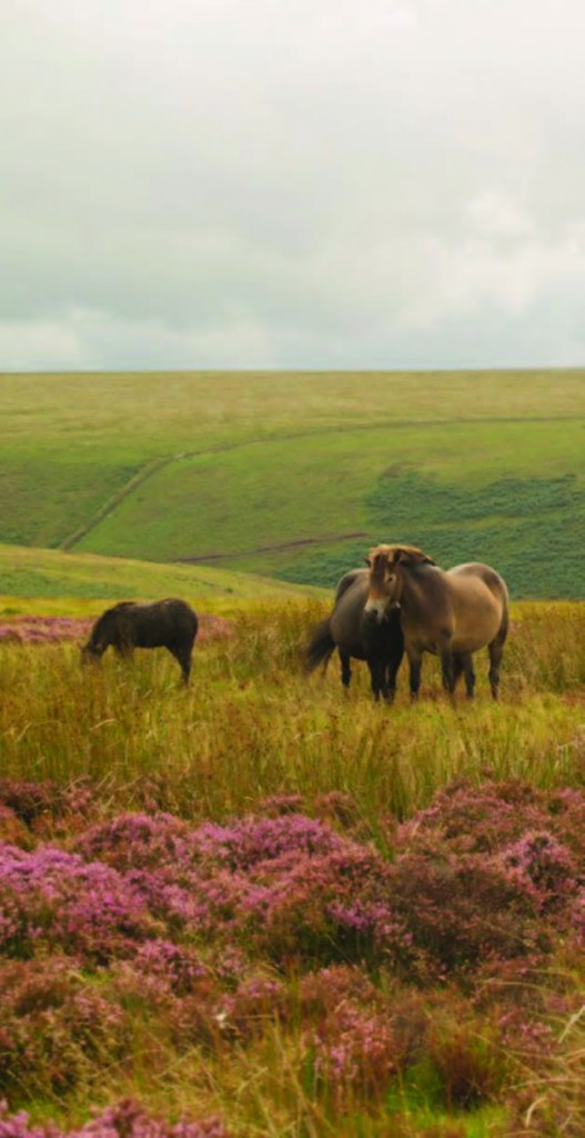 Exmoor Heath